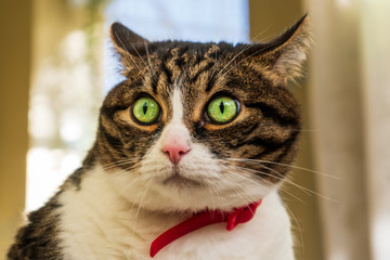 Portrait of a curious domestic house cat with beautiful green eyes, wearing a red neck strap. Adorable kitty with a cute and funny face.