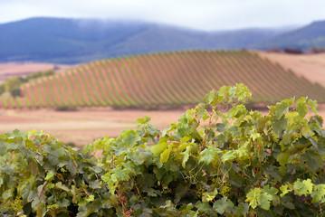 Vineyards in October, La Rioja, Spain