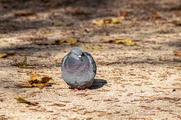 Urban city pigeon
