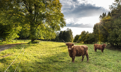 Two Highland cattle cows on green pasture view. Bos taurus or primigenius. Domesticated livestock in scenic natural landscape with sunlit deciduous tree, blue sky and sun beams in background. Ecology.