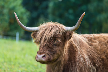 Highland cattle cow portrait on green grassland detail. Bos taurus. Face close-up of one domesticated livestock with horns and brown wavy woolly fur on a rural grazing. Eco pollution. Selective focus.