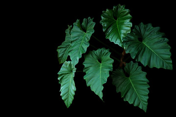 Wall Mural - Dark green leaves of Philodendron species (Philodendron speciosum) the tropical foliage climbing vine plant bush on black background.