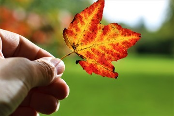 Closeup of male hand holding a red maple leaf, copy space, green background