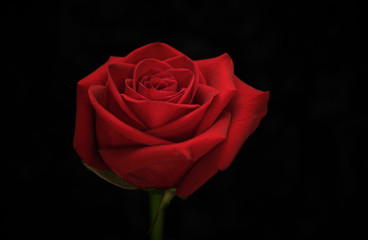 Foto op Aluminium Roses Red rose on black background