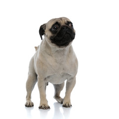 Scared pug looking to the side while standing