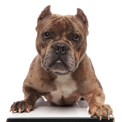 cute american bully laying down on white background