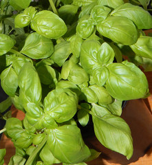 Fresh green and lush basil leaves, closeup of culinary herbs in a pot