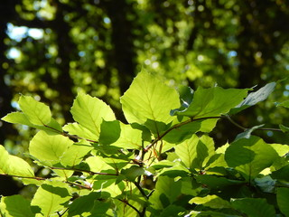 Closeup of the green foliage of a beech in the sunlight with copy space