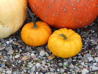 Orange and yellow pumpkins of the season in autumn ready for Halloween
