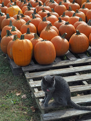 Pumpkin Patch and the Black Cat
