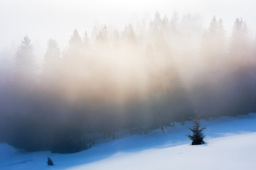 misty morning in the winter. spruce forest on a snow covered slope in glowing fog. beautiful nature background at sunrise
