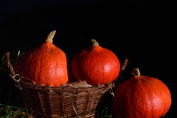 Three bright orange hokkaido gourds in a brown wicker basket against a dark background for Thanksgiving or Halloween in the fall