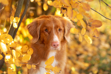 Dog in the park in autumn. Nova Scotia Duck Tolling Retriever, colored leaves