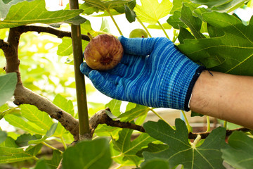 A Gardener used glove keep and showing fresh organic common figs healthy fruit in the garden,with green fig trees background.
