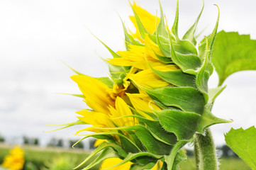 Beautiful sunflower flowers in the field, close up