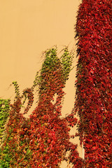 red ivy-covered wall in the fall