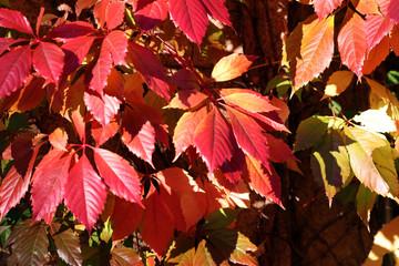 Redy ivy, fall foliage
