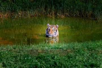 Spoed Fotobehang Tijger Amazing tiger taking a bath