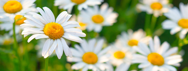 Fotobehang Bloemen Beautiful white daisy flowers in sunny day