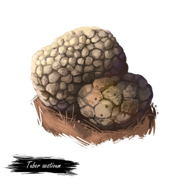 Tuber aestivum, summer or burgundy truffle mushroom closeup digital art illustration. Boletus brown outer skin forms pyramidal warts. Mushrooming season, plant of gathering plants growing in forest