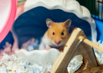 front view of cute hamster