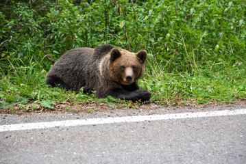 Brown bear laying on the side of the road. Wild animal on road