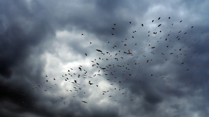 flock of bats in the air, mega bat swarm at dawn