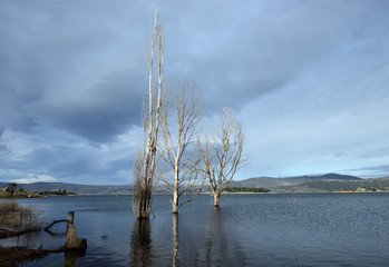 Dry trees emerging from water, Lake Jindabyne Australia