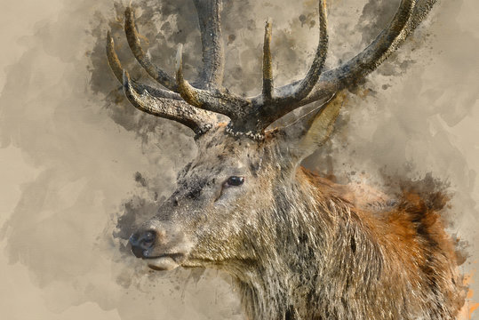 Digital watercolor painting of Stunning red deer stag Cervus Elaphus with majestic antlers in Autumn Fall forest landscape