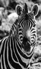 Wall Murals Zebra Zèbre au par national d'etosha en Namibie