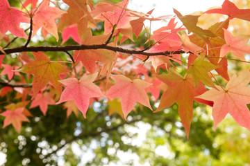 Detail of liquidambar red autumnal foliage