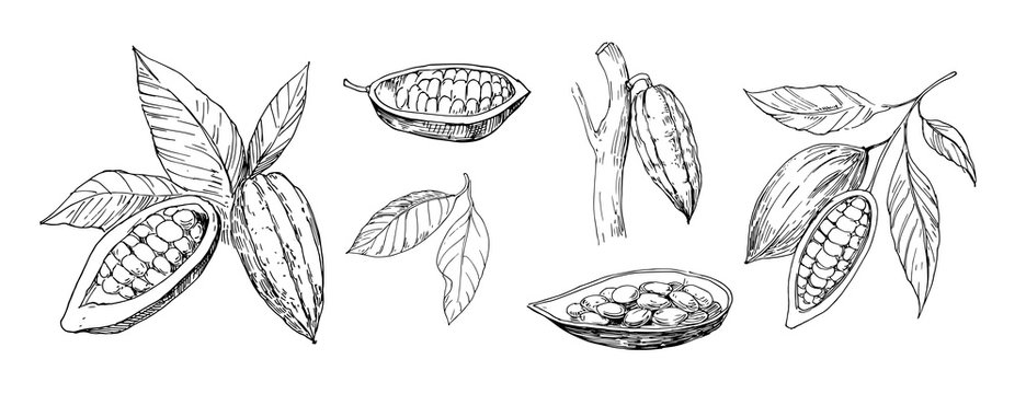 Sketch of cocoa plants. Hand drawn illustration converted to vector