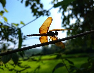 Dragon fly sitting on bush, evening pic