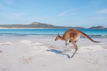 Keuken foto achterwand Kangoeroe Känguru mit Jungem hüpft an australischen Strand