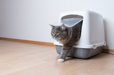 Fototapeta young blue tabby maine coon cat leaving gray hooded cat litter box with flap entrance standing on a wooden floor in front of white wall with copy space looking ahead obraz