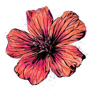 Anthophyta 059b - Hand painted cranesbill geranium flower illustration.  Fiery orange and hot pink watercolour with black ink on a white background.