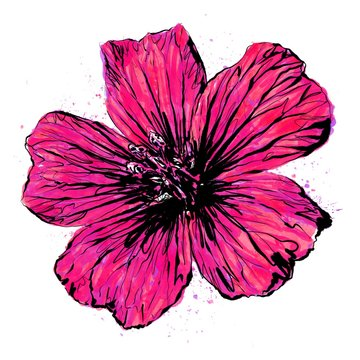 Anthophyta 059a - Hand painted cranesbill geranium flower illustration.  Red, purple and hot pink watercolour with black ink on a white background.