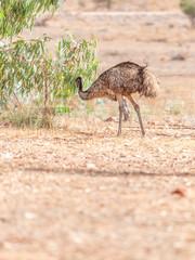 Emu Bird in Australia