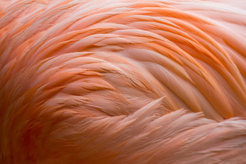 Photo sur Plexiglas Flamingo Flamingo-Gefieder (Federkleid)