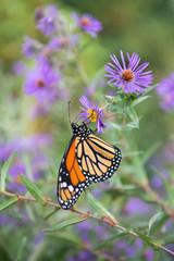 Monarch Butterfly Drinking from Flower