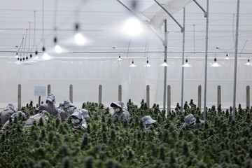 Employees of the Clever Leaves company work inside a cannabis plantation, in a greenhouse in Pesca