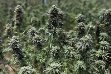 Cannabis plants are seen inside a greenhouse of the Clever Leaves company in Pesca