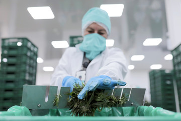 An employee of the Clever Leaves company separates the cannabis leaves from the stem, at a production plant in Pesca