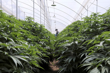 An employee of Clever Leaves company works inside a cannabis plantation, at a greenhouse in Pesca