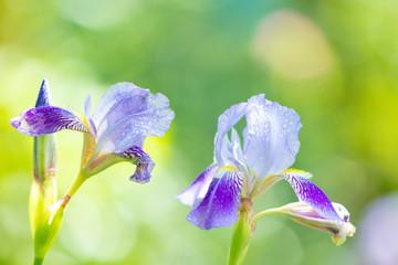 Fond de hotte en verre imprimé Iris Blossoming iris flowers in the garden