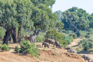 Herd of african elephants next to a large tree
