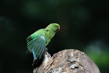 Rose Ringed Parakeet from Chennai Tamil Nadu India
