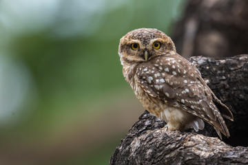 Spotted Owlet from Chennai Tamil Nadu India