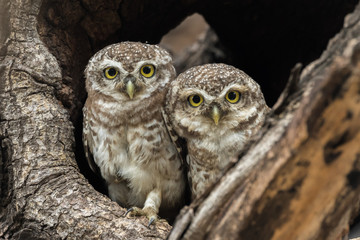Spotted Owlets Chennai Tamil Nadu India Peeping Out