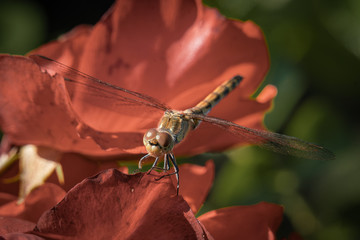 Detailed macro close up of a brown dragonfly with translucent wings